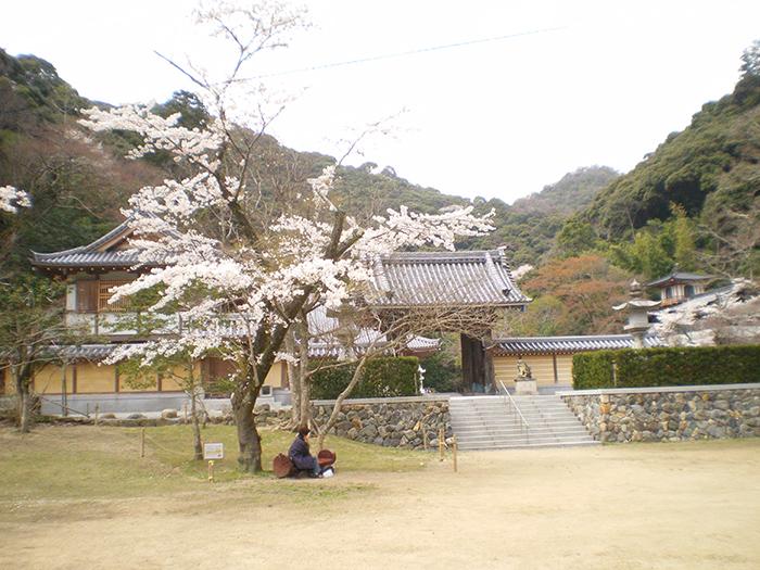 Japon : cerisier en fleur
