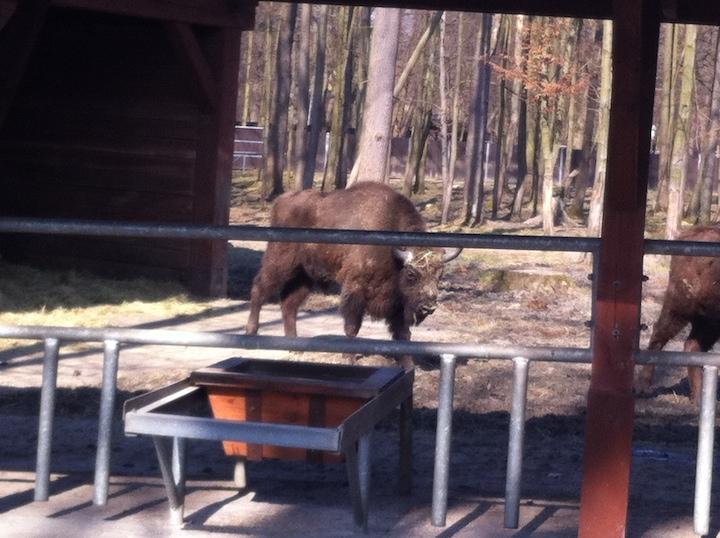 bison pologne